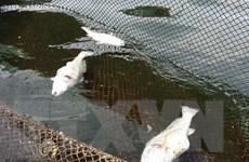 Cá lồng trên sông Lô chết hàng loạt sau khi xuất hiện váng dầu