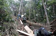 Kỷ luật nhiều chi bộ, đảng viên trong vụ phá rừng pơmu tại Quảng Nam