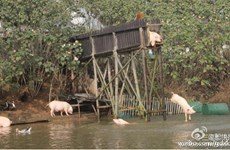 Kỳ lạ hình ảnh đàn lợn thi nhau nhảy cầu xuống dòng nước mát