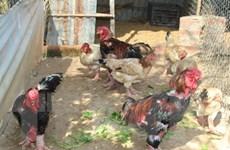 Các giống gà quý độc đáo, hình thức đẹp, thịt thơm ngon