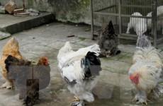 Năm Dậu nói chuyện con gà trong kho tàng văn hóa Việt Nam