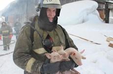 Xúc động với hình ảnh lính cứu hỏa giải cứu chú 150 lợn con
