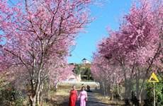 Hủy ngày hội mai anh đào tại thành phố Đà Lạt vì hoa không nở