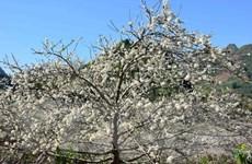 Khám phá cung đường hoa Xuân tuyệt đẹp của vùng Tây Bắc