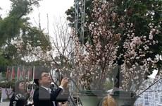 Tưng bừng khai mạc triển lãm hoa anh đào tại Hà Nội