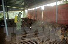Xuất hiện ổ dịch cúm gia cầm A/H5N1 mới tại tỉnh Hà Tĩnh