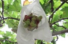 Người trồng nho Bình Thuận phấn khởi vì được mùa, được giá