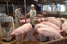 Giải cứu ngành chăn nuôi lợn: Doanh nghiệp chấp nhận không lãi
