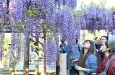 Nhật Bản phủ kín trong sắc tím lộng lẫy của mùa hoa tử đằng
