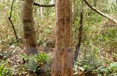 Cưa trộm cây rừng phòng hộ Dầu Tiếng, bị phạt 441 triệu đồng