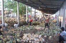 Sản lượng sụt giảm, giá dừa khô nguyên liệu tăng kỷ lục