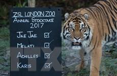 Hổ Sumatra ở Indonesia vẫn đang bị săn trộm tràn lan