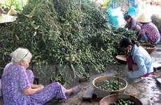 Thương lái đổ xô mua cau quả non giá cao tại Thừa Thiên-Huế