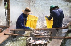 Cá tra Việt Nam lên ngôi tại cuộc thi đầu bếp Mekong Chef