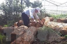 Quảng Trị: Phát hiện nhiều vụ khai thác gỗ trái phép tại xã A Xing