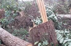 Thông tin rừng phòng hộ đầu nguồn ở Lào Cai bị phá là chưa chính xác