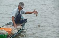 [Photo] Lênh đênh bắt cá trên cánh đồng Hậu Giang mùa nước nổi