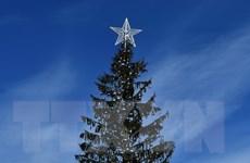 Số phận đáng thương của cây thông Giáng sinh tại thành phố Rome