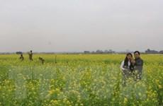 Cánh đồng hoa cải vàng rực thu hút đông du khách tới Thanh Hóa