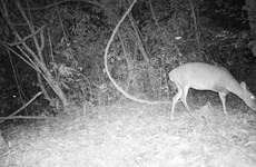 [Photo] Những loài động vật quý hiếm được chụp nhờ bẫy ảnh