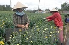 Thời tiết thuận lợi, người trồng hoa Đà Nẵng được mùa hoa Tết