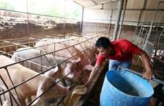 Người chăn nuôi e ngại tái đàn dù giá lợn có xu hướng tăng nhẹ