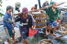 Giá cá tra tăng kỷ lục, doanh nghiệp 'khát' nguyên liệu chế biến