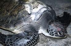 Quảng Bình: Vận động ngư dân thả vích quý hiếm trở lại biển