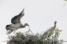 Đồng Tháp: Bảo tồn đàn cò nhạn quý hiếm tại rừng tràm Gáo Giồng