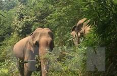 Nâng cao hiệu quả công tác bảo tồn voi khẩn cấp ở Đắk Lắk