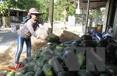 Nông dân Quảng Bình khó khăn trong tiêu thụ dưa hấu