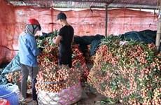 Đặc sản vải Thanh Hà được mùa sớm, chất lượng cao