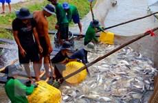 Thị trường cá tra nguyên liệu vẫn 'nóng' vì nguồn cung khan hiếm