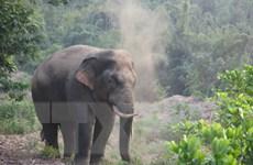 Voi rừng liên tục phá hoại hoa màu, tài sản của người dân ở Đồng Nai