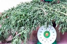 Quảng Ninh: Bắt giữ đối tượng trồng cần sa trái phép tại nhà riêng