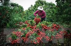 Hình ảnh vải thiều Lục Ngạn chín đỏ trong mùa thu hoạch