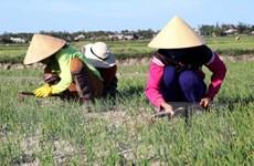 """""""Mưa vàng"""" cứu nguy hàng nghìn ha lúa Hè Thu tại Nghệ An"""
