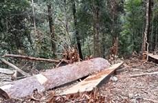Sẽ khởi tố vụ án khai thác gỗ rừng phòng hộ trái phép tại Bình Định