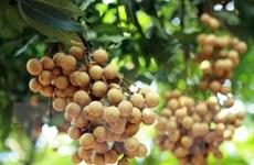 Hình ảnh nhãn lồng Hưng Yên trĩu quả trong mùa thu hoạch