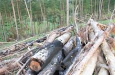 Lâm Đồng: Tan hoang rừng thông 20 năm tuổi ở Đam Rông