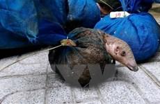 Quảng Ninh: Bắt quả tang các đối tượng nuôi nhốt, tàng trữ tê tê