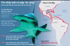 """[Infographics] Tìm hiểu loài cá mập """"ăn chay"""" đầu tiên trên thế giới"""