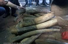 Bắt giữ gần 1 tấn ngà voi, vẩy tê tê chuyển về sân bay Nội Bài