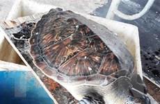 Giải cứu một con vích quý hiếm bị mắc cạn trở về biển an toàn