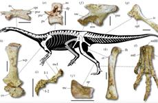 Hoá thạch khủng long cổ dài hông thằn lằn kỷ Creta 66 triệu năm trước
