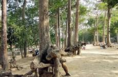20 tỷ đồng bảo dưỡng hàng trăm cây cổ thụ quý Khu di tích Ao Bà Om