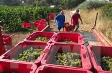 """Người dân Pháp ngày càng chuộng rượu vang """"sạch"""" từ nho hữu cơ"""