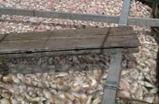 Quảng Nam: Cá điêu hồng chết hàng loạt, người dân không kịp trở tay