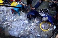 Cá tra Việt Nam năm 2018: Bứt phá ngoạn mục từ những khó khăn