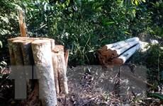 Đắk Nông: Gần 70 cây gỗ đường kính từ 20-60cm đã bị đốn hạ